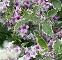 Вейгела цветущая (florida) Nana Variegata