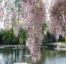 """Глициния  обильноцветущая / флорибунда """"Lilac Rose"""". Высота 160+ см, C3"""