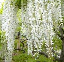 """Глициния  обильноцветущая (floribunda) """"Longissima Alba"""" (Италия)"""
