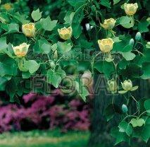 Лириодендрон (Тюльпановое Дерево). Обхват ствола 12-14 см