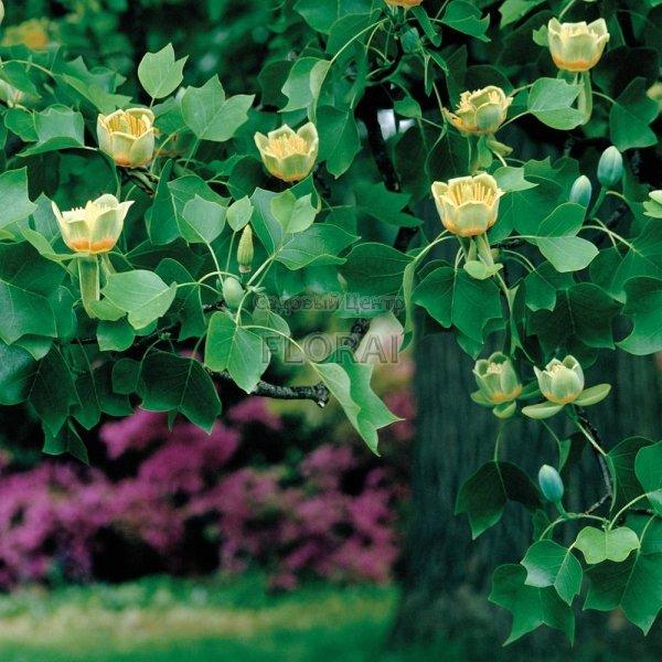 Лириодендрон тюльпановый. Высота 400+ см.  С230
